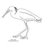 Egret (Great)