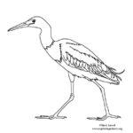Heron (Little Blue)